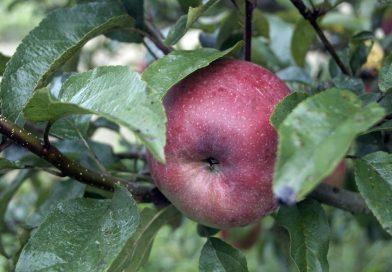 Jabuke i jagode sadrže prirodni spoj zvan fisetin koji vašu kožu čini mlađom