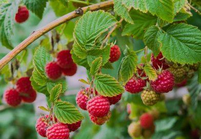 MALINE – mirisno, crveno nutritivno blago