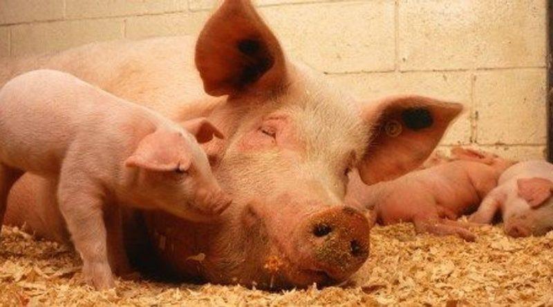 O svinjama… i ponešto drugo…